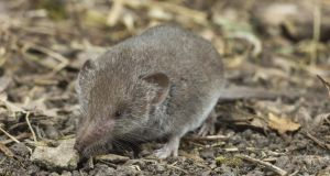 Nutritionally poor: greater white-toothed shrew