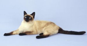 The unusual colouration of Siamese (above) and Burmese cats – which is limited to the extremities – is due to particularly interesting genetics. Photograph: Thinkstock