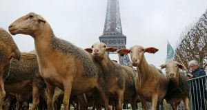 Sheep gather in front of the Eiffel Tower in Paris during a demonstration of shepherds against the protection of wolves in France on November 27th, 2014. The shepherds, with about 250 animals, staged the protest against a French government plan to try to pacify shepherds and protect wolves. Photograph: Jacky Naegelen/Reuters