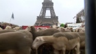Farmers release sheep under the Eiffel Tower to rally against the French government's wolf plan. Video: Reuters