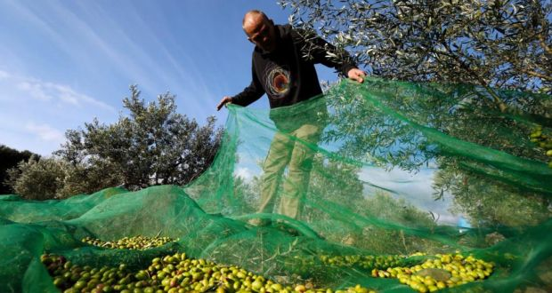 Failure around Europe: a farmer harvests olives this week in southern France; 40-60 per cent of the crop is likely to be lost. Photograph: Guillaume Horcajuelo/EPA