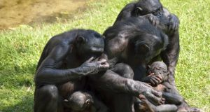 Our capacity for co-operation has deep evolutionary roots and scientists have been studying this in chimpanzees and bonobos (above), our closest living relatives. Photograph: Thinkstock