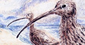 Curlews: down to the last 98 breeding pairs. Illustration: Michael Viney