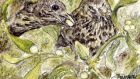 Two in the bush: mistle thrushes feeding on mistletoe. Illustration: Michael Viney