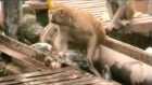 Amazing footage of monkey reviving electrocuted companion