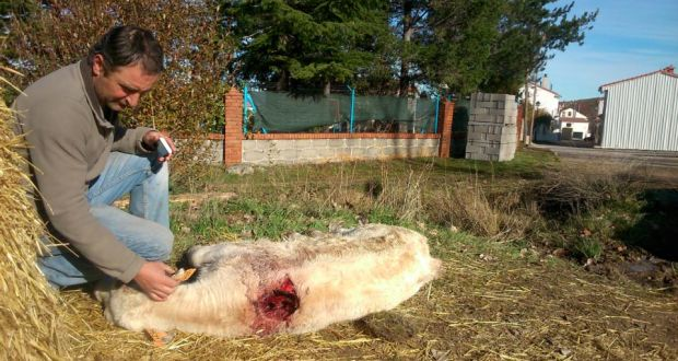Return of the wolf haunts spanish farmers farmer jacinto serranos with a calf that has been killed by a wolf i fandeluxe Images