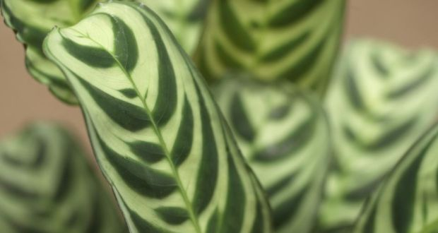 The Zebra Striped Leaves Of Calathea