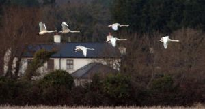 Whooper swans in north Wicklow in mid-January,  at thge  start of  the  five-yearly  all Ireland census  organised by BirdWatch Ireland and the National Parks and Wildlife Services. Photograph: Cyril Byrne/The Irish Times