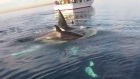 Taken off the coast of California, a paddle boarder fulfilled a long-term ambition by filming and interacting with a pod of wild orca whales. Video: Rich German