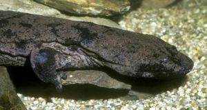 Some in China believe that consuming the Chinese giant salamander can combat the effects of ageing.