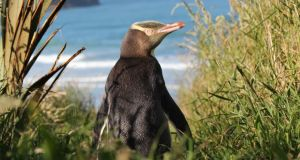 Yellow-eyed penguins are among the rarest penguins in the world. Photograph: Shaun Templeton