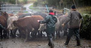 "Health and Safety Authority chief executive Martin O'Halloran said: ""The days of feeding calves with a bucket and walking the cows home, they're certainly in the historic annals of husbandry practice on farms."" File photograph:  Jeff J Mitchell/Getty Images"