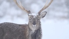 Wild Irish stags filmed in a pristine winter landscape