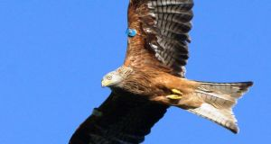 Wing and a prayer: Blue White T, a female kite brought to Ireland from Wales;  Photograph: Marc Ruddock
