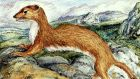 The stoat: distinctly Irish. Illustration: Michael Viney