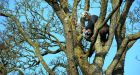 Tree surgeon Stephen Buchanan working on trees near Maynooth , Co KildarePhotograph: Eric Luke/ The Irish Times