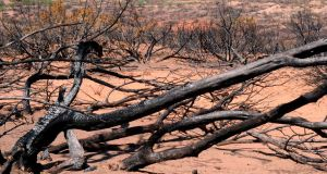 A scorched mesquite tree is seen among the thousands of acres that burned from wildfires during a severe drought outside Jayton, Texas, in 2011. Photograph: Elliott Blackburn/Reuters