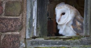 The barn owl is now on the red or critical list of endangered species. Photograph: Thinkstock