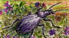 Delightfully alternative: Carabus problematicus, widespread on Ireland's mountain heaths and moraines. Illustration: Michael Viney