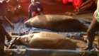 A rescue operation is under way in Florida after more than a dozen manatees got stuck in a drainage pipe. VIdeo: Reuters