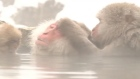 Beat the cold: Japanese macaques lounge in hot springs