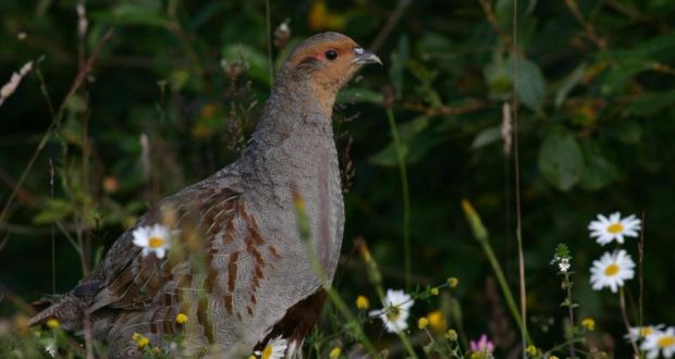 Grey partridge conservation takes flight in Co Dublin