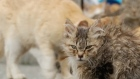 A Japanese island is overrun with more than six cats for every islander. Video: Reuters