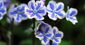 Omphalodes 'Starry Eyes'. Photograph: Paddy Tobin