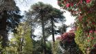 A remnant of the estate's 19th-century monkey puzzles, plus towering specimens of the rhododendron 'altaclerense'. Photograph: Megan O'Beirne