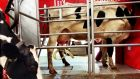 "A Lely Astronaut robotic milking machine in operation. ""There's been a major increase in demand in the last eight to 10 years in Ireland and sales have grown exponentially since,"" said Lely's sales manager Aidan Fallon."