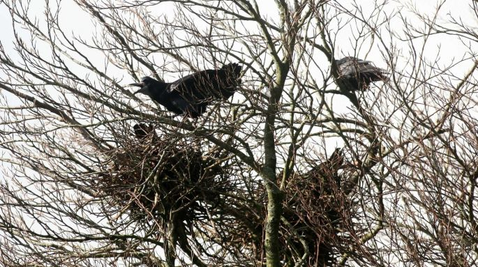Image result for ROOK BUILDING ITS NEST