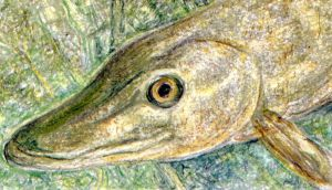 Monster catch: Esox lucius has a lithe and muscular beauty. Illustration: Michael Viney