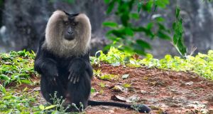 At large: A lion-tailed macaque. Photograph: Thinkstock