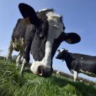 On the moo-ve: after more than three decades, the milk quota regime is being abolished. Photograph: AFP/George Gobet