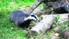 Badger culls have been used to try to stop the spread of TB, but this method of disease control has been criticised by animal welfare groups, particularly in the UK. File photograph: Getty Images