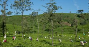 Workers harvesting tea on a plantation near Hatton.
