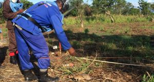 One of Apopo's deminers working in the field at Dombe, Manica province, Mozambique. Photograph: Mary Boland