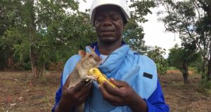 Apopo deminer Victor Boquico gives a banana treat to 'Mocadas 53', who has just found TNT in the soil at the landmine clearance site at Dombe in Manica province, Mozambique. Photograph: Mary Boland
