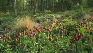 The 'smarties bed' in June Blake's Co Wicklow garden last year, filled with 'Burgundy', 'Ballerina', 'Negrita', 'Aladdin' and 'Bastagne Parrot' tulips. Photograph: Richard Johnston