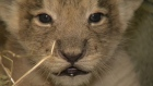 Get up close and personal with the adorable lion cubs from Dublin Zoo that will feature as part of the television series The Zoo, which airs Thursdays, 7pm on RTÉ One. Video: Moondance Productions