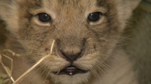 Get up close and personal with Dublin Zoo's lion cubs