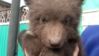 Bear cub adopted by family after poachers leave it on doorstep