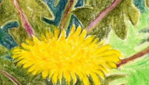 Dandelions: we treat them as weeds, but these golden wild flowers are an important source of food for a vital insect. Illustration: Michael Viney