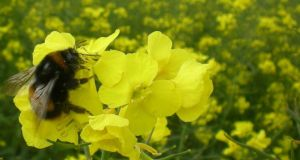 A foraging buff-tailed bumblebee, Bombus terrestris, visiting an oilseed rape flower in a field in Ireland. Photograph: Dara Stanley/Nature