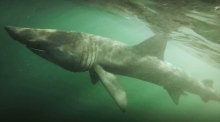 Majestic six metre basking shark filmed off Cork coast