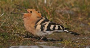 A hoopoe: it is 50 years since so many have been spotted in Ireland.