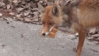Lunch to go: sandwich-making Chernobyl fox goes viral