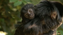 Baby Goeldi's monkey arrives at Dublin Zoo