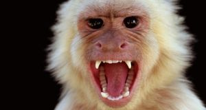 In a 2003 experiment, 'short-changed' monkeys became upset. Above, a capuchin monkey. Photograph: Thinkstock