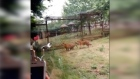 Underdog: crane squares off against two tigers